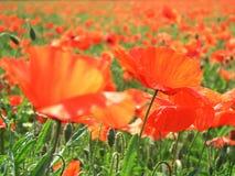 Mohnblumen in der Sonne Lizenzfreies Stockbild