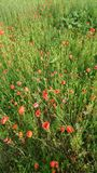 Mohnblumen in der Wiese mit Gras Lizenzfreie Stockfotografie