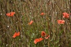 Mohnblumen, die auf dem Maisgebiet blühen Lizenzfreie Stockfotografie