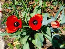 Mohnblumen, die im Sonnenschein blühen stockbilder