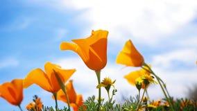 Mohnblumen, die in Wind beeinflussen stockbilder