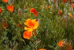 Mohnblumen erforschen die Welt und erreichen für die Sonne Stockbilder