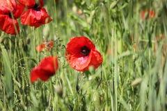 Mohnblumen fangen, rote Blumen auf Grüne und rote Farben in der Natur Stockfotos