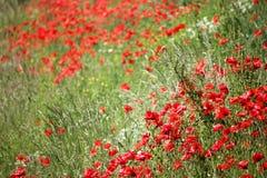 Mohnblumen fangen, rote Blumen auf Grüne und rote Farben in der Natur Stockfoto