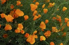 Mohnblumen fegen auf einem Gebiet stockbild