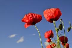 Mohnblumen gegen einen blauen Himmel Stockfotos