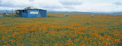 Mohnblumen im Antilopen-Tal Stockfotografie