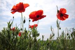 Mohnblumen im Sommer Stockfoto