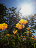 Mohnblumen im Tageslicht lizenzfreies stockbild