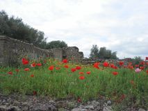 Mohnblumen in Italien Lizenzfreies Stockbild