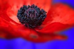 Mohnblumen-makro blauer Hintergrund stockfotos