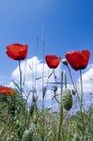 Mohnblumen mit blauem Himmel Lizenzfreie Stockfotos