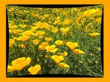 Mohnblumen mit Rahmen Stockfotografie