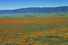 Mohnblumen mit Schafen, Kalifornien Lizenzfreies Stockfoto
