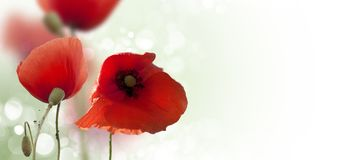 Mohnblumen-Naturzusammensetzung lizenzfreies stockfoto