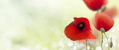 Mohnblumen-Naturzusammensetzung stockfotografie