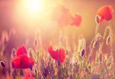 Mohnblumen am Sonnenschein Stockbilder