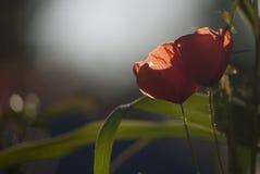 Mohnblumen am Sonnenuntergang Lizenzfreies Stockbild