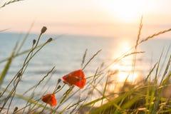 Mohnblumen am Sonnenunterganghintergrund stockbilder
