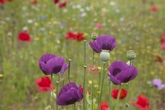 Mohnblumen u. wilde Blumen Stockfotografie