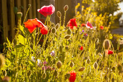 Mohnblumen und andere Blumen in der Sonne Stockbilder