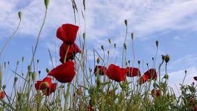 Mohnblumen und blauer Himmel lizenzfreie stockfotografie
