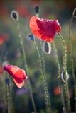 Mohnblumen und der Abend Stockbilder