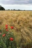 Mohnblumen und diasies auf dem Roggenfeld Stockbild