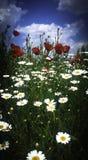 Mohnblumen und Gänseblümchen Stockfotos
