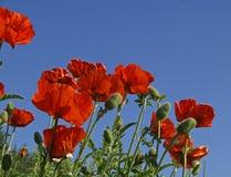 Mohnblumen und Himmel Stockbild