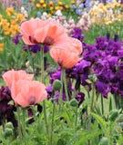 Mohnblumen und Iris Stockfotos