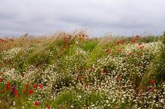Mohnblumen- und Kamillenfeld Stockbild