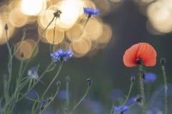 Mohnblumen und Kornblumen lizenzfreies stockfoto