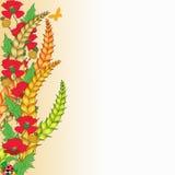 Mohnblumen und Mais Stockfoto