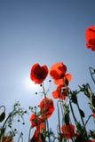 Mohnblumen und Sonne Stockbilder