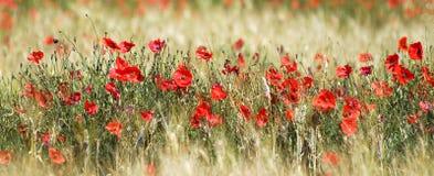 Mohnblumen und Weizen Stockbild
