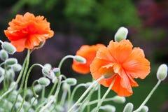 Mohnblumen wachsen Stockfotos