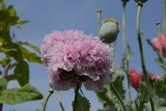 Mohnblumenbüsche und Blume 2 der orientalischen Mohnblume Stockfotografie