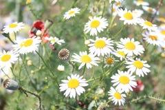 Mohnblumenbirnen- und -kamillenblumen Stockfotografie
