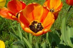 Mohnblumenblüte Lizenzfreies Stockbild