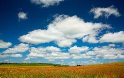 Mohnblumenblume Stockbilder