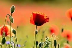 Mohnblumenblume auf einem Rot verwischte Hintergrundfelder Lizenzfreies Stockfoto