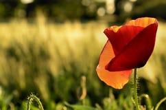 Mohnblumenblume auf Feldern eines unscharfen Hintergrundes Lizenzfreie Stockfotografie
