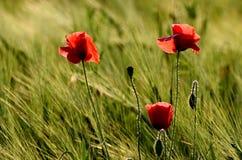 Mohnblumenblume auf Feldern eines unscharfen Hintergrundes Lizenzfreie Stockbilder