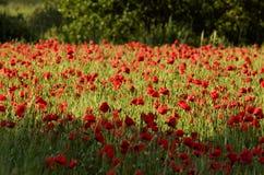 Mohnblumenblume auf Feldern eines unscharfen Hintergrundes Lizenzfreie Stockfotos