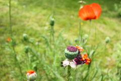 Mohnblumenblume gerüttelt Stockfotos