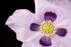 Mohnblumenblume gerade von oben Stockfoto