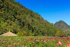 Mohnblumenblume im Garten Stockfoto