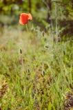 Mohnblumenblume im Sonnenlicht Lizenzfreies Stockbild