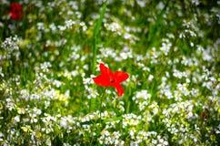 Mohnblumenblume mit genauem Blick unter Sonnenlicht Lizenzfreie Stockfotografie
